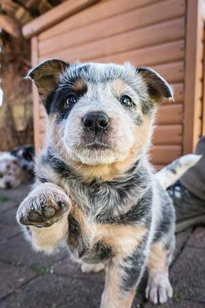 sharyn mccowen blue cattle dog